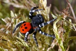 Ladybird Spider (Eresus sandaliatus)